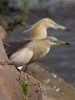 Pond Heron-I by InayatShah