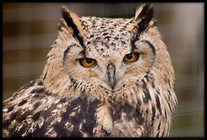 Indian Eagle Owl by Sato-photography