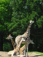 Giraffe 1 by photohouse