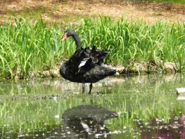 Black Swan (Into the reflection) by Naturevulpex