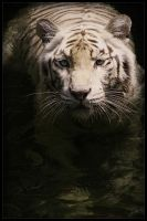 White Tiger III by waiaung