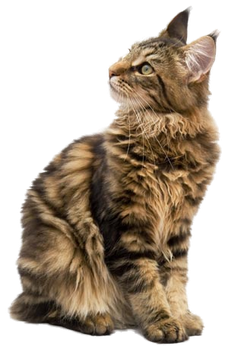 Maine Coon PNG by LG-Design