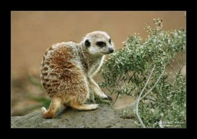 meerkat manner iii.. by cdaile