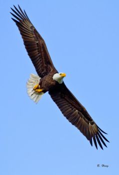 Eagle With Dinner by Grouper
