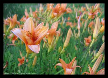 The Lilies of the Day by silverdreams