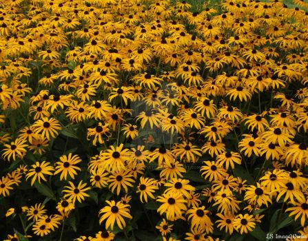 Blackeyed Susans1 by LSPhotographyStore