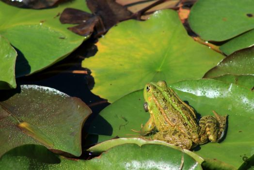 Frog at the pond #18 by sleepingFrog