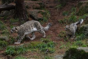 Snow Leopard 63 by CastleGraphics
