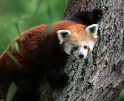 Red panda by OkiGraphics
