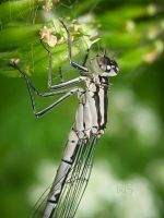 Damselfly by Iris-cup