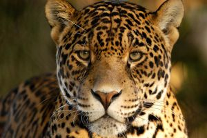 African Leopard 3 by shaunthorpe