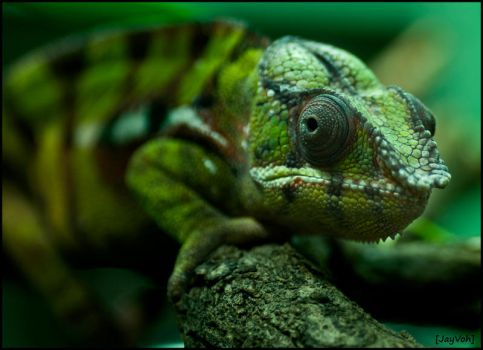 Panther Chameleon II by jayvoh
