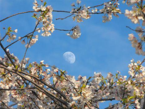 moon and blossoms in focus by origamifreak