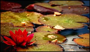 Water Lilly. by mhimages