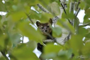 American marten in aspen tree 1 by themanitou