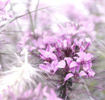 lavender impressions by ssilence