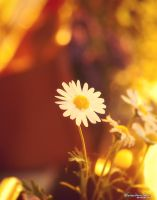 daisy by theaudioslave