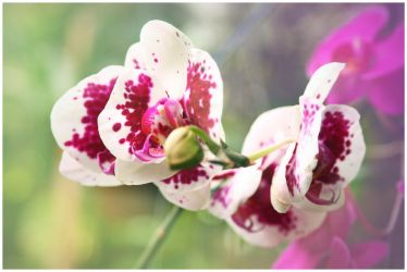 shine orchid 2 by paustinus