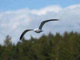 Seagull by wakedeadman
