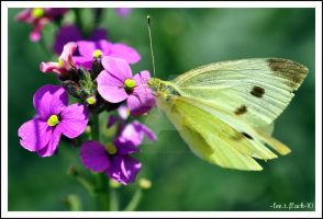 white butterfly2 by photoflacky