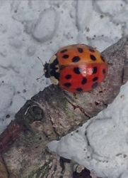Orange AND red ladybug? Male and female? by AlliCali