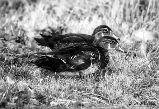 Two Wood Ducks by CanYouSeeTheRealMe