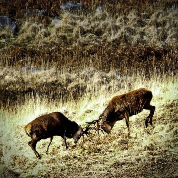 Galloway: stags' endurance by Coigach