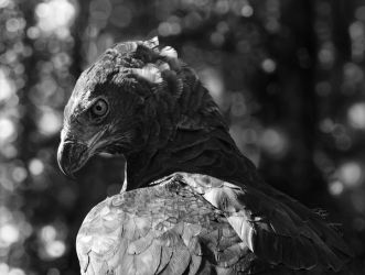 Digital Drawing of a Martial Eagle by Fallunleashed