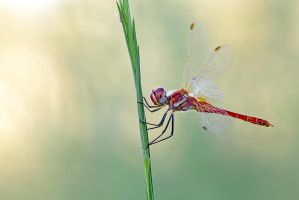 Common red by buleria