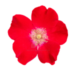 Dogrose PNG by Bunny-with-Camera