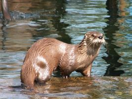 Northern River Otter 01 by animalphotos