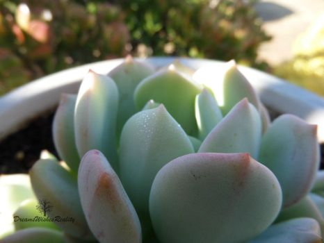 Succulent by DreamsWishesReality