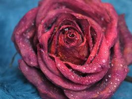 Rose d'hiver 2 by Melusine8
