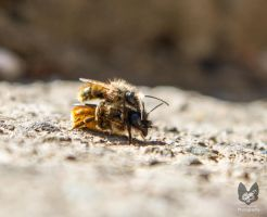 Masonary Bees by Takarti
