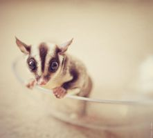 sugar glider 4 by Cvet04ek