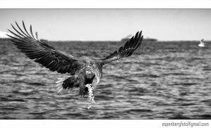 Sea Eagle Black and White by berg77