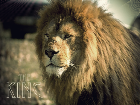 The king. LION by resqual