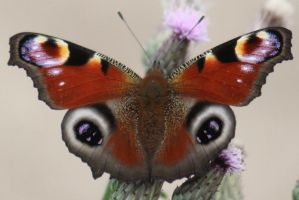 Butterfly Stock 37 by Malleni-Stock