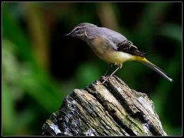 Grey Wagtail by cycoze