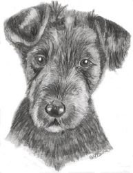 Drawing - Airedale Terrier Puppy by d3javu3