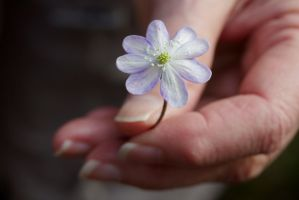 White hepatica by reaktionista