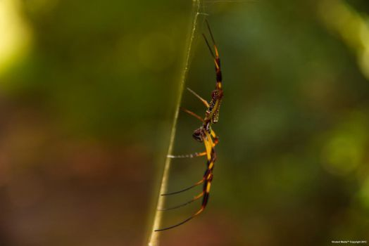 Golden Orb Spider by VirulentMedia
