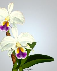 Cattleya Orchids by artmovementspgh