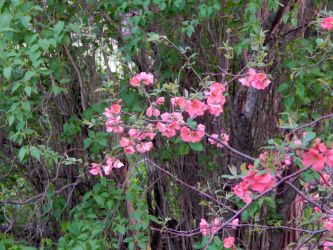 Flowering Quince by MadGardens