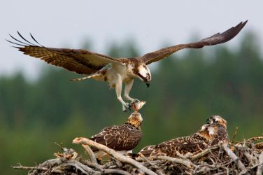 Osprey family at lunch by Mateuszkowalski