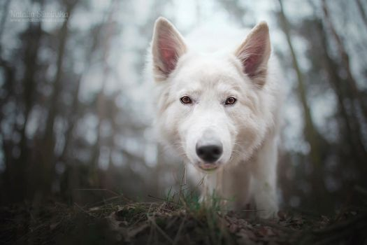 White Wolf by chaoticfireflies