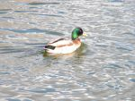 duck swimming by amitm123
