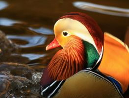 Mandarin Duck by NurturingNaturesGift