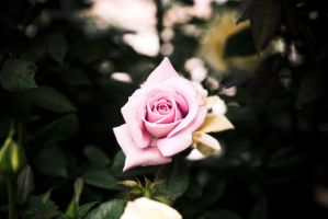 Wish Upon a Rose by richardxthripp