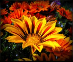Colorful Gazania by JocelyneR
